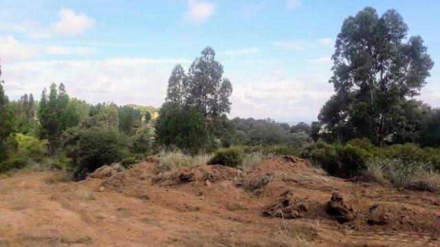 Finca de eucaliptos para riego