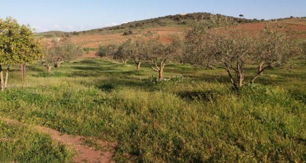 Finca pequeña de olivos plantados en el sur de Badajoz