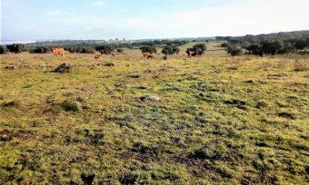 Vacas pastando en la dehesa de encinar