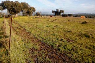 Vacas pastanto en una dehesa de Extremadura