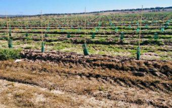 Finca de riego de olivos superintensivos en el sur de Portugal