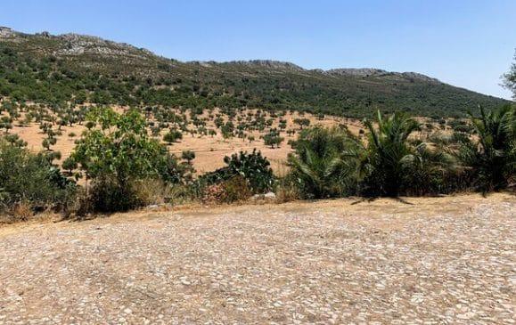 Olivos ecológicos en la sierra de Hornachos
