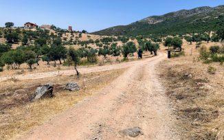 Terreno adehesado con plantación de encinas