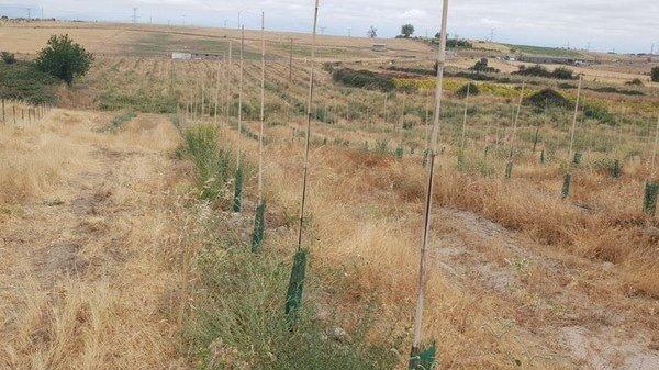 Plantación de olivar en cáceres