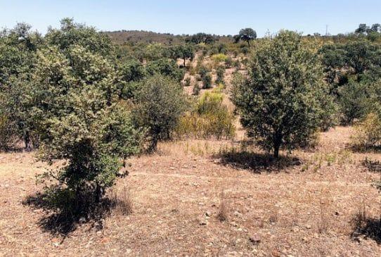 Zona de reforestación de encinas