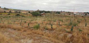 terreno con olivos
