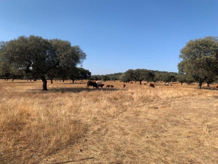 Vacas pastando en la dehesa