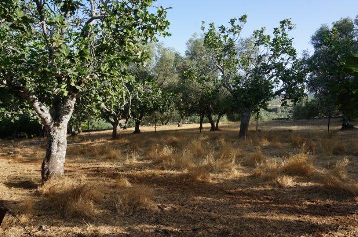Higuera y olivos centenarios del terreno