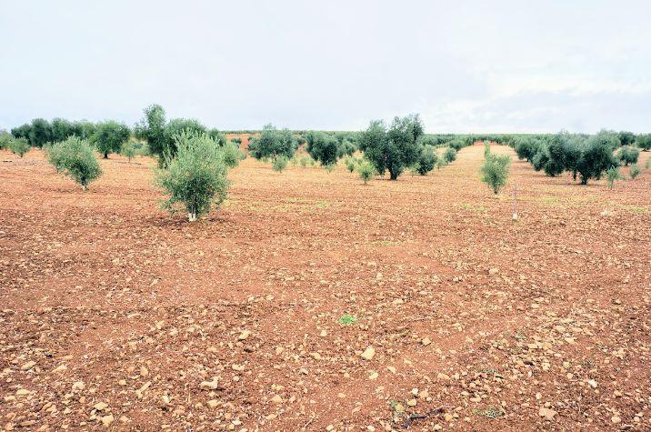 Olivos de la variedad picual