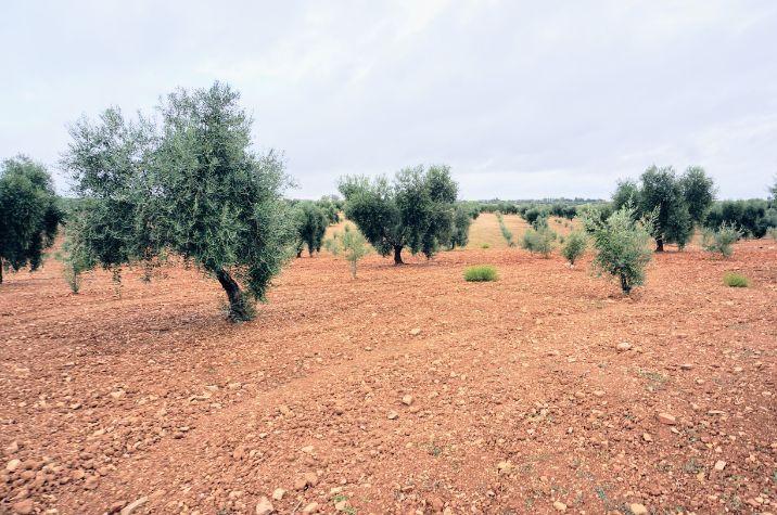 Olivos bastos