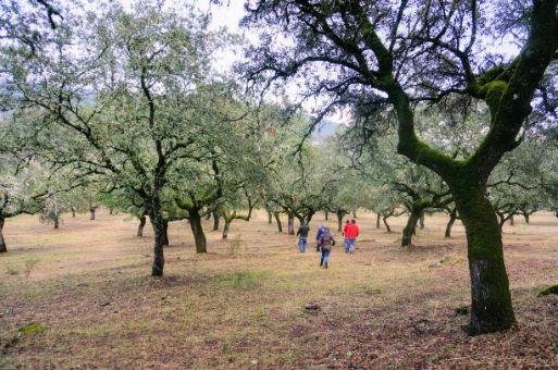 Dehesa de 61 ha con gran densidad de encinas en Badajoz