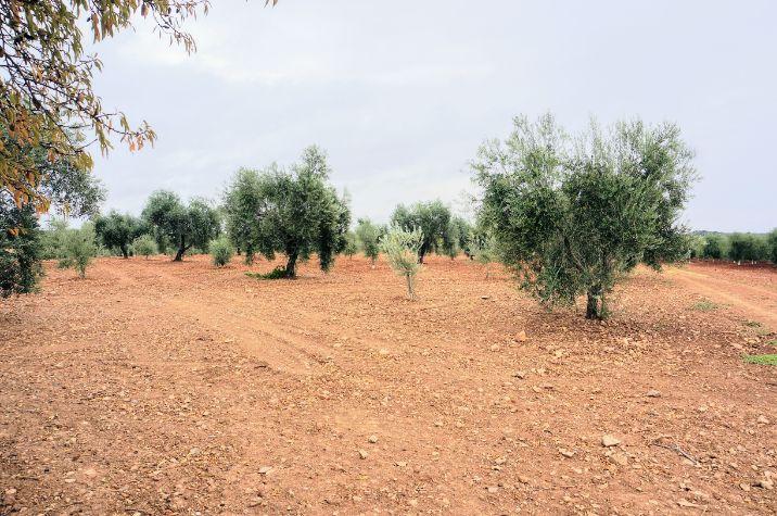 Plantación de olivos de secano