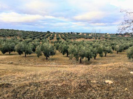 Finca rústica de 42 ha de olivos con casa de campo centenaria