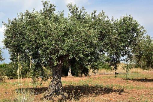 Finca de labor secano con olivos en marco antiguo