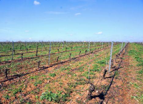viñedo-alta-producción
