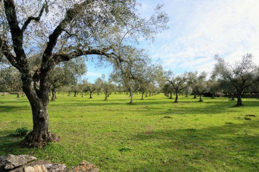 Terreno plantado de olivos
