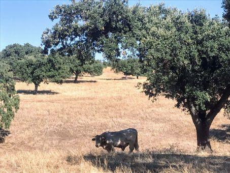 Toro de la raza charolais en la dehesa en venta