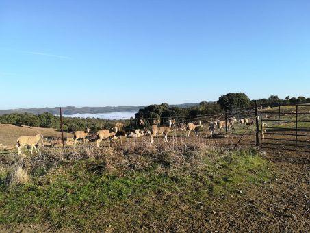 finca con 550 ovejas