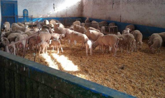 ovejas en una de la naves de parición