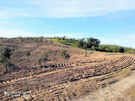 reforestación de alcornoques y encinas