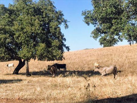 Vacas pastando en la finca